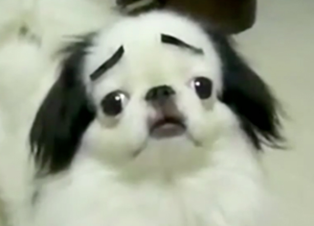 Dogs-with-Human-Eyebrows-10.jpg