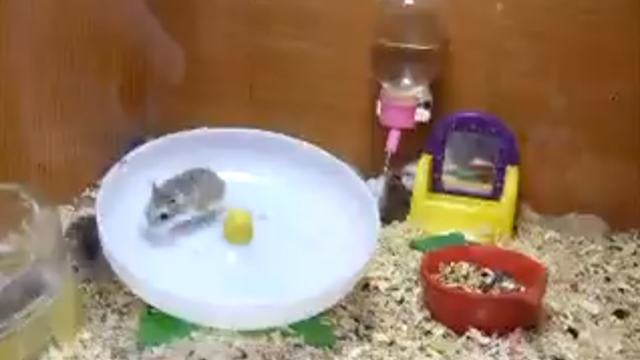 crazy-hamsters-playing.jpg