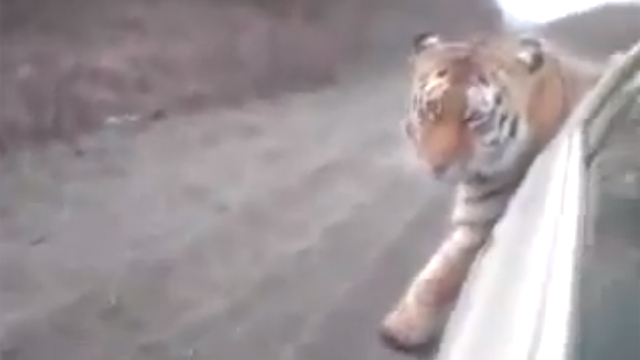 Russians-Find-Tiger-On-The-Road.jpg